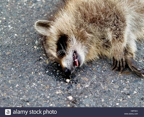 kills raccoon road kill raccoon stock photo royalty free image 125723428 alamy