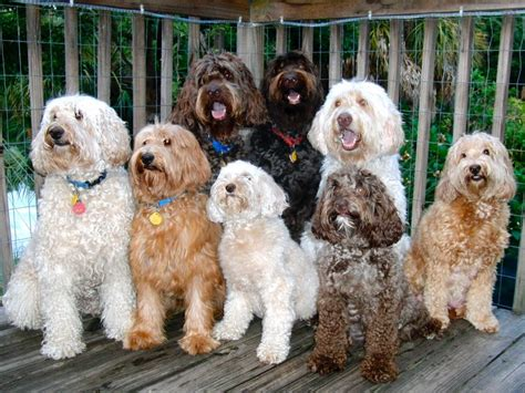 labradoodle puppies florida ta bay australian labradoodles