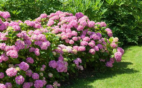 how to divide perennial plants and split oversize shrubs david domoney