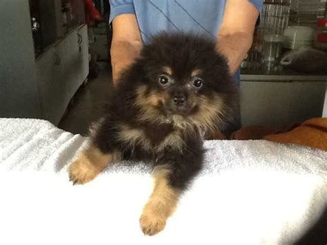 black pomeranian puppies for adoption black and tann pomeranian puppies for sales for sale adoption in singapore