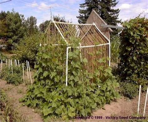 the bean house the bean house bean growing and trellising information from victory seeds