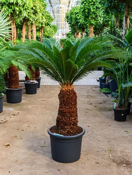 Cycas Revoluta Kaufen by Palmfarn Kaufen Pflanzen F 252 R Nassen Boden