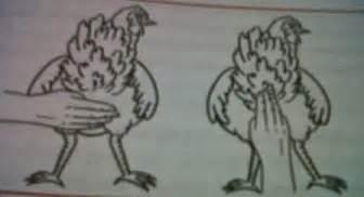 Bibit Ayam Petelur Bogor tips memilih bibit ayam kung petelur 1 ayam kung pro