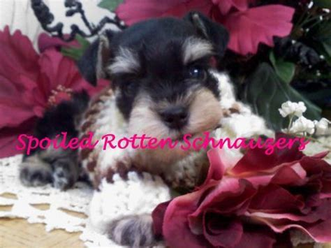 teacup pugs for sale in utah black and silver schnauzer puppies for sale in utah for sale puppies for sale