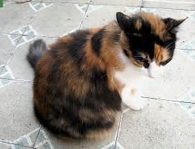 Cat breed calico white name scout tag 1478 female mixed breed