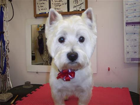 different haircuts for westies image gallery westie haircuts