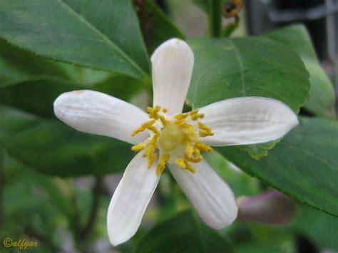 fiori limone nontuttomaditutto 320 fiore di limone