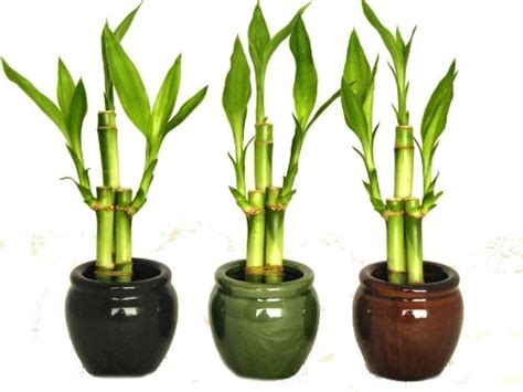 Indoor L Where To Buy by Where To Buy Bamboo Plants Indoor And Outdoor Infobarrel