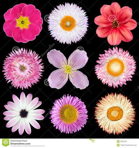 imagenes de varias flores varias flores rosadas rojas blancas aisladas en negro