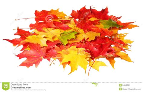 Maple Leaves Isolated On White Background Colored Autumn Leafs Stock Photography Image 34643562 Fall Leaves On White Background