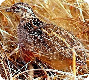 quail birds and eggs in uganda food that could keep you