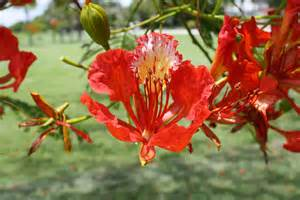 Royal poinciana madagascar national flower