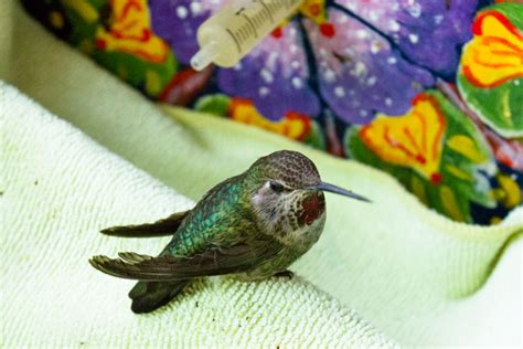 anna s hummingbirds year round native animal rescue