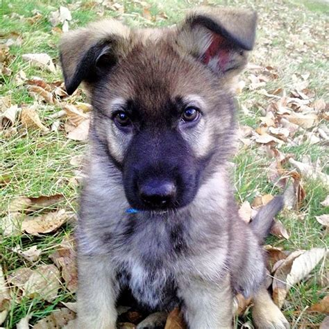 how to a german shepherd puppy how to socialize your german shepherd puppy german shepherd central