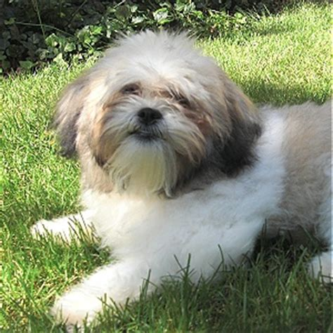 bichon shih tzu mix grown shichon teddy shih tzu bichon mix info temperament puppies pictures