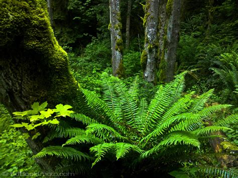 woodland forest plants and trees a sword fern grows at the base of a moss covered big leaf