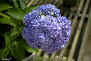common flowering shrubs ornamental flowering plants n grow it
