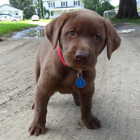 chocolate puppies black chocolate lab puppies for sale