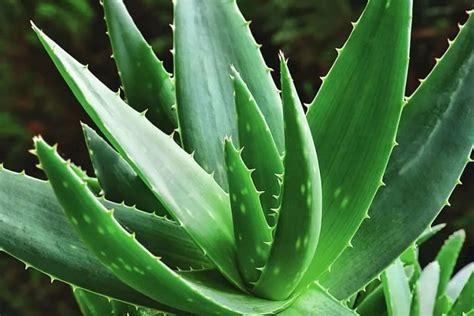 list    types  aloe plants  pictures