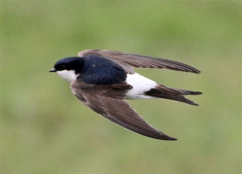 house martin tattoo planning pinterest martin o