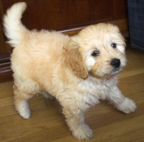 cross between golden retriever and poodle barley the goldendoodle puppies daily puppy breeds picture