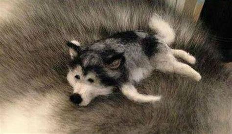 Boneka Hewan Anjing Siberian Husky foto lucu anjing husky yang manja pada teman kecilnya