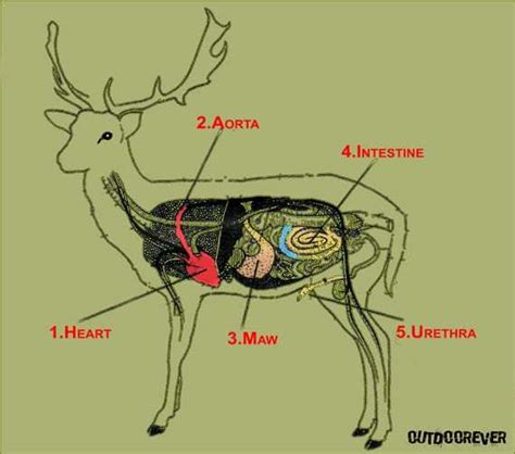 where to shoot a deer diagram where to shoot a deer with a bow ultimate deer bow