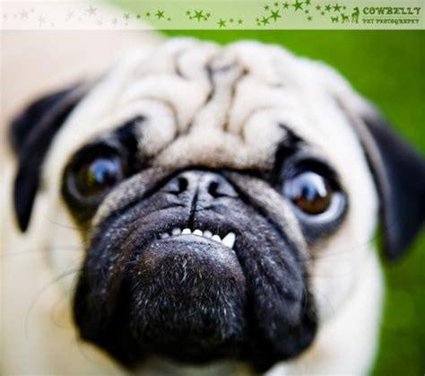 pug underbite pugs make underbites look meiklehm posts mouths and lol