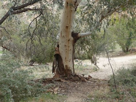 Trees That Shed by These Eucalyptus Trees Shed Their Photo