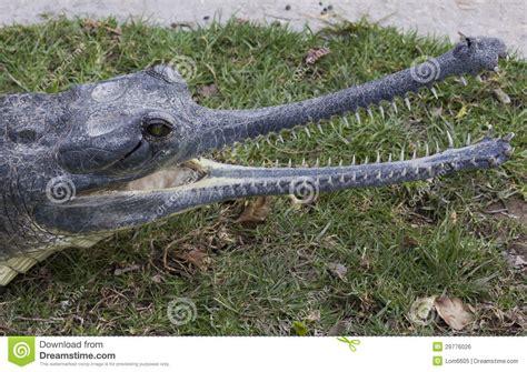 Nile Crocodile Royalty Free Stock Image - Image: 29776026