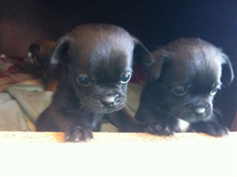 pug cross chihuahua puppies for sale pug cross chihuahua harlow essex pets4homes