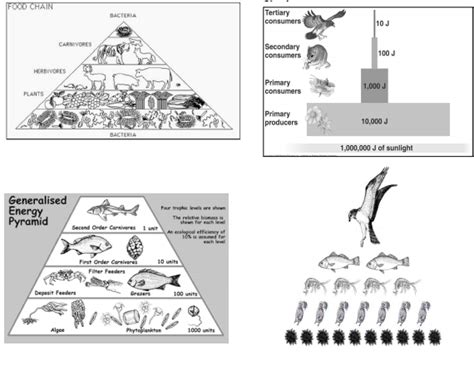 Food Chain Trophic Levels Worksheet Answers by Food For Thought Trophic Level Evelynapes