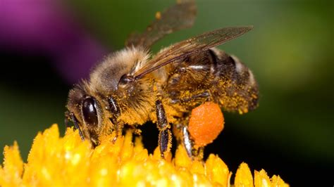 humans are spreading deadly bee virus study says the