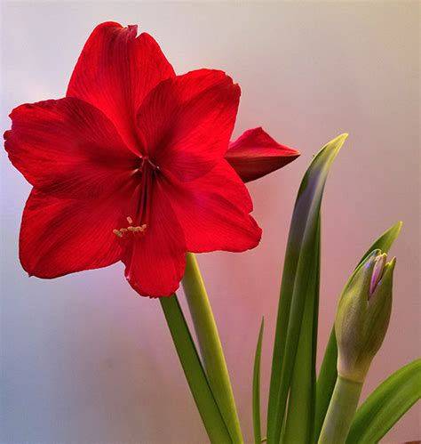 growing and caring for amaryllis