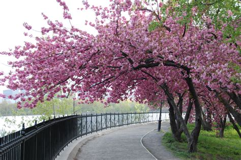 cherry blossom tree central park new heaven on earth