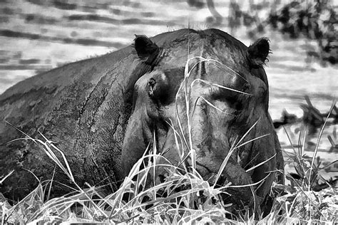 Hippo Black black and white hippo with by brewer