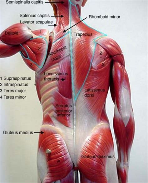 diagram of lower back anatomy organ pictures top collection muscles of the