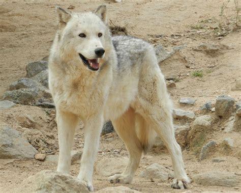 wolf hybrid puppy wolf hybrid