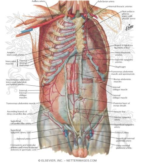 best anatomy software anatomy organ pictures top collection human atlas anatomy