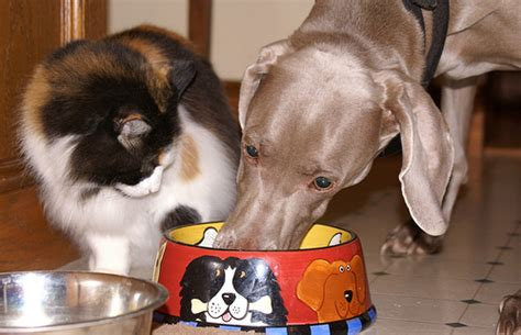 do dogs eat cats why do dogs eat cat food and is it a problem