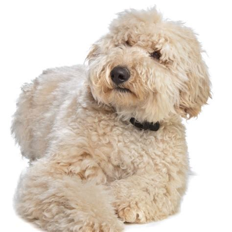 doodle puppy breeds hair labradoodles hairstylegalleries