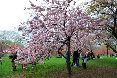 japanese cherry trees varieties 28 images cherry