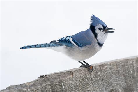 blue jay birdgenie