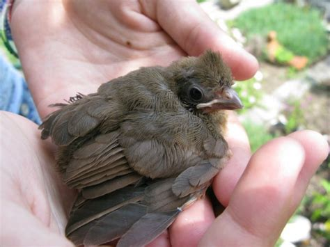 quot i found a baby bird quot cornell lab of ornithology
