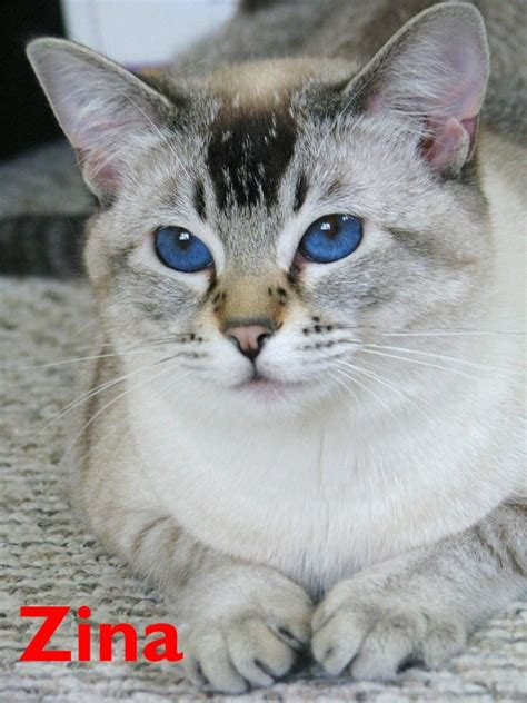 Blue Lynx Point Siamese Cat Ascyyck   ANIMAL ONLINE