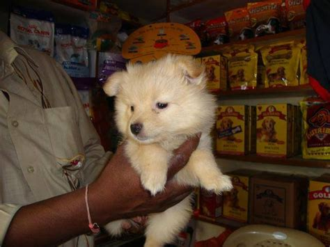 miniature pomeranian for sale in india golden mini pomeranian for sale for sale adoption from maharashtra greater