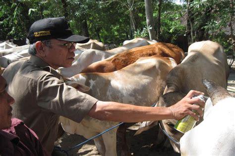Bibit Sapi Potong Lokal indonesia berpeluang ekspor beku sapi potong lokal bisnis