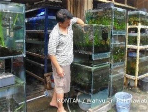 Lu Neon Hias sentra ikan cengkareng semua pedagang ikan untung 2