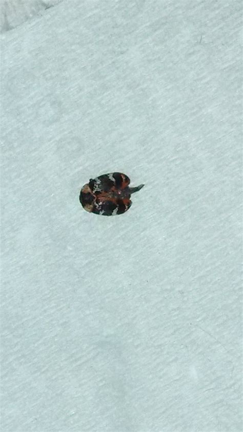 rug bug carpet bug