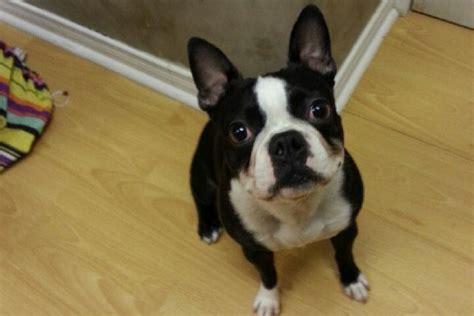 adopt a boston adopt a boston terrier toronto photo